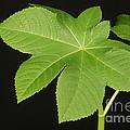 Leaf Of Castor Bean Plant by Ted Kinsman