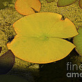 Leaf On A Pond by Donna Greene
