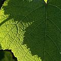 Leaf Shadow by Susan Herber