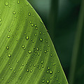 Leaf With Water Drops, Barro Colorado by Christian Ziegler