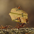 Leafcutter Ant Atta Sp Group Carrying by Cyril Ruoso