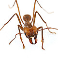 Leafcutter Ant Worker Costa Rica by Piotr Naskrecki