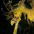 Leafy Sea Dragon by Matthew Oldfield