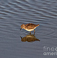 Least Sandpiper by Louise Heusinkveld