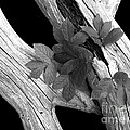Leaves And Driftwood Bw by Mike Nellums