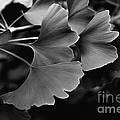 Ginkgo Biloba Leaves by Tanya  Searcy