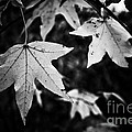 Leaves Without Color by Kim Henderson
