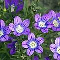 Legousia Pentagonia Flowers by Bob Gibbons