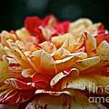 Lemon Cherry Chip  by Susan Herber