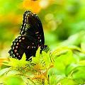 Lemon Lime Butterfly by Sheri Bartoszek
