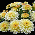 Lemon Meringue Chrysanthemums by Mother Nature
