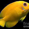 Lemonpeel Angelfish by Dant� Fenolio