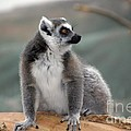 Lemur by Living Color Photography Lorraine Lynch