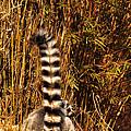 Lemur Tail by Susan Cliett