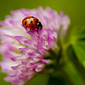 Lensbaby Ladybug On Pink Clover by Kathy Clark