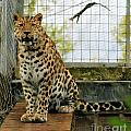 Leopard 4 by Ruth Hallam