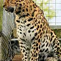 Leopard 5 by Ruth Hallam