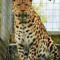 Leopard 6 by Ruth Hallam