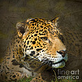 Leopard by Betty LaRue