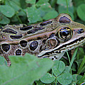 Leopard Frog by Doris Potter