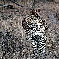 Leopard Hunt by Paul Fell