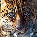 Leopard by Ken Marsh