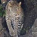 Leopard by Mareko Marciniak