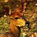 Lesser Kudu by Linda Tiepelman