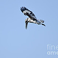 Lesser Pied Kingfisher by Fotosas Photography