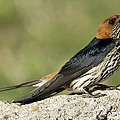 Lesser Striped Swallow by Peter Chadwick