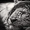 Let Sleeping Tiger Lie by Traci Cottingham