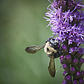 Liatris And Bee Squared 2 by Teresa Mucha