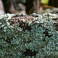 Lichens Lace by Susan Herber