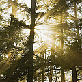 Light Beams Shining Through Trees And Fog by Keith Webber Jr