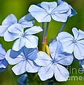 Light Blue Plumbago Flowers by Carol Groenen