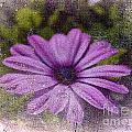 Light Purple Daisy by Susanne Van Hulst