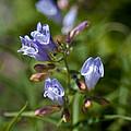 Light Purple Wild Penstemons  by Paul Cannon