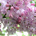 Lilac Blooms by Angie Rea