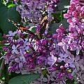 Lilac Butterfly by Kristie  Bonnewell