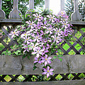 Lilac Clematis Flower Vine Basking In Sun Rays On A Wood Garden Arbour by Chantal PhotoPix