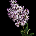 Lilac by Endre Balogh