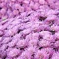 Lilac Frost by Elizabeth Sullivan