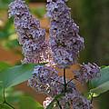 Lilac by George Ramondo