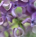 Lilac Syringa Sp Flower, Close by Jan Vermeer