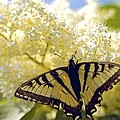 Swallowtail Lilac Spring Photo by Alanna DPhoto