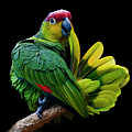 Lilacine Amazon Parrot Isolated On Black Backgro by Photo by Steve Wilson