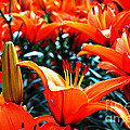 Lilies In Bloom by Pravine Chester