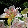 Lilies In The Rain by Byron Varvarigos