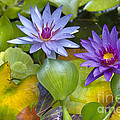 Lilies No. 2 by Anne Klar