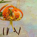Lilium Pardalinum by Marilyn Cornwell